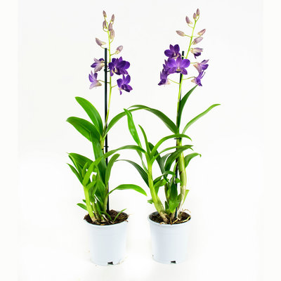 Dendrobium Sa-nook Bl Happiness per 2 stuks