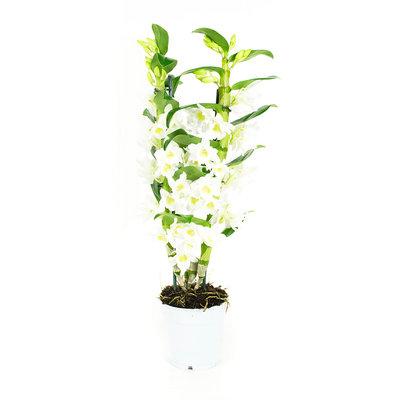 Dendrobium Nobile Apollon 2tak