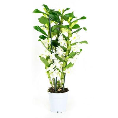 Dendrobium Nobile Apollon 3tak