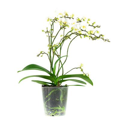Phalaenopsis Multiflora Soft Cloud 4tak (vlinderorchidee)