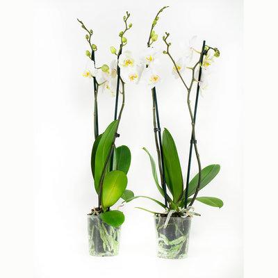 Phalaenopsis Springtime per 2 stuks (vlinderorchidee)