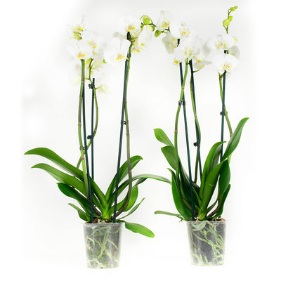 Phalaenopsis Wit per 2 stuks (vlinderorchidee)