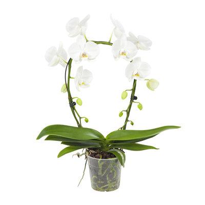 Phalaenopsis witte orchidee Mirror Miracle (vlinderorchidee)