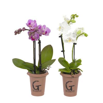 Phalaenopsis mini 2tak - rose en wit samen (vlinderorchidee)