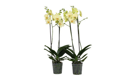 Phalaenopsis Alassio per 2 stuks (vlinderorchidee)