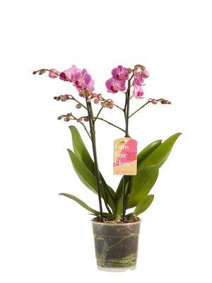 Phalaenopsis multiflora Purple (vlinderorchidee)