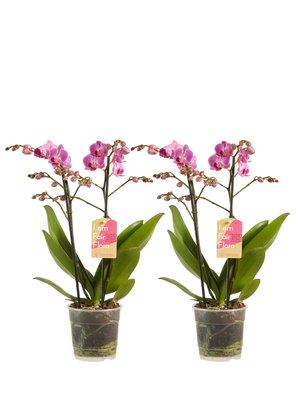 Phalaenopsis multiflora Purple per 2 stuks (vlinderorchidee)