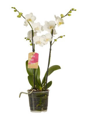 Phalaenopsis multiflora white (vlinderorchidee)