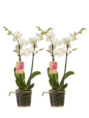 Phalaenopsis multiflora white per 2 stuks (vlinderorchidee)