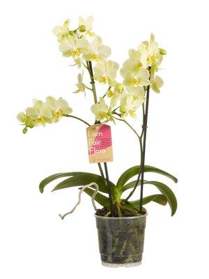 Phalaenopsis multiflora (vlinderorchidee)