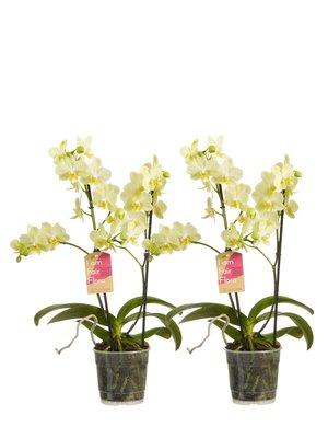 Phalaenopsis multiflora per 2 stuks (vlinderorchidee)