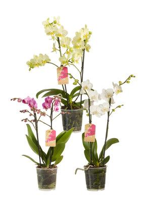 Phalaenopsis multiflora gemengd per 3 stuks (vlinderorchidee)