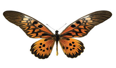 interieursticker vlinder XL 49 x 22 cm