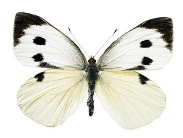 interieursticker vlinder XL 38 x 28 cm