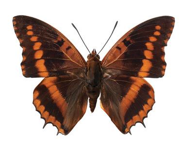 interieursticker vlinder M 17 x 12 cm