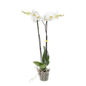 Witte orchidee Grandi-flora (Phalaenopsis)