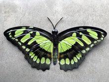 groene vlinder voor aan de wand