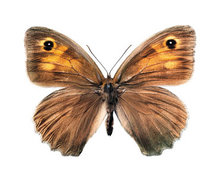 vlindersticker